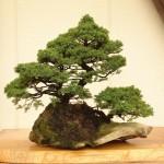 盆栽 - 日本文化の進むべき道を示す –
